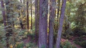 Metragem aérea da floresta da sequoia vermelha em Califórnia filme