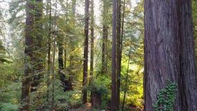 Metragem aérea das sequoias vermelhas em Califórnia do norte filme