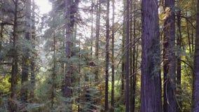 Metragem aérea de árvores da sequoia vermelha em Califórnia vídeos de arquivo
