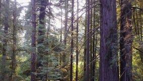 Metragem aérea de árvores da sequoia vermelha em Califórnia do norte filme