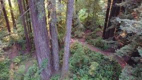 Metragem aérea de árvores da sequoia vermelha em Califórnia do norte vídeos de arquivo