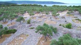 Metragem aérea de um sulco verde-oliva velho na ilha mediterrânea video estoque