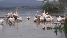 Metragem de 4 K: pelicanos brancos e Dalmatian no lago Kerkini filme