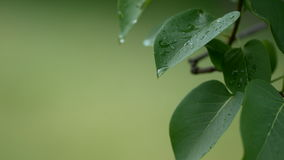 metragem de 4K UHD da gota da chuva da água que corre nas folhas verdes vídeos de arquivo