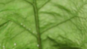 Metragem do fundo natural Macro, close-up Transição do fundo borrado para cancelar o quadro com a folha verde da bardana HD compl video estoque