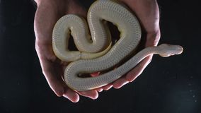 Metragem do phyton real da bola do albino nas mãos filme