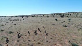 Metragem do zangão que segue o jogo selvagem no deserto de kalahari