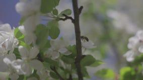 Metragem exterior de um voo da abelha entre as flores video estoque