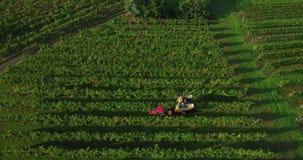 metragem 4k aérea da colheita da uva no vinhedo com ceifeira do trator da maquinaria no outono vídeos de arquivo