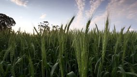 Metragem larga do ângulo de um campo de trigo verde que funde no vento na região do swartland no cabo ocidental de África do Sul vídeos de arquivo