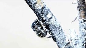 Metragem rara de Acroceridae (mosca Pequeno-dirigida que coloca ovos) filme