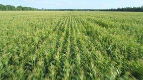 Metragem a?rea do zang?o Voo sobre um campo de milho dourado na terra bonita Movimento dianteiro rápido filme