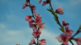 Metraggio ad alta definizione del fiore rosa variopinto della pesca nella risoluzione di FullHD stock footage