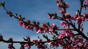Metraggio ad alta definizione del fiore rosa variopinto della pesca nella risoluzione di FullHD video d archivio