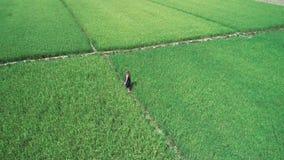 metraggio aereo del fuco 4K della ragazza bionda nella condizione blu del vestito nelle risaie in EL Nido, Filippine video d archivio