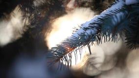 Metraggio del hd del sole dell'albero di abete della foresta di inverno video d archivio