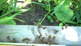 Metraggio del rallentatore di FullHD Abbondanza delle api all'entrata dell'alveare in arnia stock footage