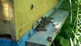 Metraggio del rallentatore di FullHD Abbondanza delle api all'entrata dell'alveare in arnia video d archivio