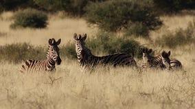 Metraggio della zebra nella Kalahari stock footage
