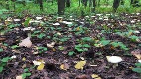 Metraggio di cottura di moto del fondo dei funghi bianchi che crescono nel legno stock footage