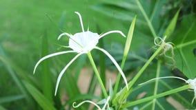 Metraggio di definizione di Lily Flower Head White High del ragno stock footage