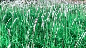Metraggio di Hd fiore di colore del pennisetum dell'erba bianca di polystachion o di missione o del pennisetum della piuma video d archivio
