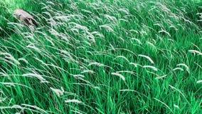 Metraggio di Hd fiore di colore del pennisetum dell'erba bianca di polystachion o di missione o del pennisetum della piuma stock footage