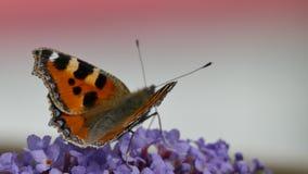 Metraggio di piccoli urticae di Aglais della farfalla di carapace stock footage