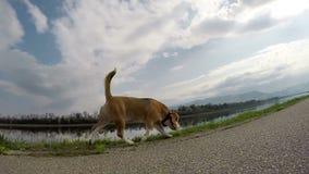 Metraggio grandangolare lento del cane da lepre sulla passeggiata archivi video