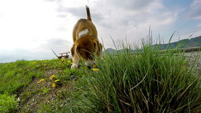 Metraggio lento di un cane da lepre che fiuta la terra mentre sulla passeggiata in primavera video d archivio