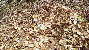 Metraggio in tempo reale: il cane da lepre imbroglia intorno nel mucchio delle foglie con un bastone archivi video
