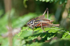 Metrioptera roeselii Royalty Free Stock Images