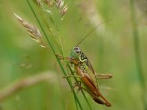Metrioptera roeselii Royalty Free Stock Image