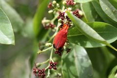 Metriorrhynchus rhipidius - Red net winged beetle Stock Photography