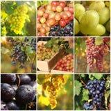 Metta con differenti generi di uva che cresce nella vigna fotografie stock libere da diritti