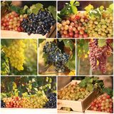 Metta con differenti generi di uva che cresce nella vigna immagine stock