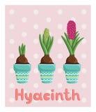 Metta con tre giacinti in vasi: lampadina, germoglio, fiore Immagini Stock