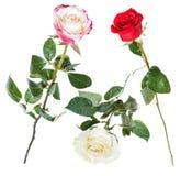Metta da rosa, rosso, fiori della rosa di bianco isolati Fotografia Stock