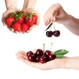 Metta dalle bacche della ciliegia e della fragola nelle mani delle donne isolate su bianco Fotografie Stock
