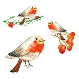 Metta degli uccelli svegli dell'inverno del fumetto uccelli del pettirosso dell'acquerello su fondo bianco fotografie stock libere da diritti