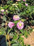 Metta dei fiori rosa con il centro giallo fotografie stock libere da diritti