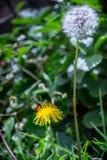 Metta del dente di leone e del fiore nel giardino fotografia stock libera da diritti