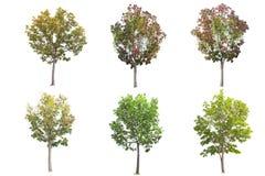 Metta dell'albero di mogano isolato su fondo bianco immagini stock libere da diritti
