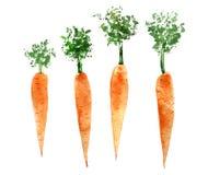 Metta delle carote dell'acquerello Illustrazione disegnata a mano isolata illustrazione di stock
