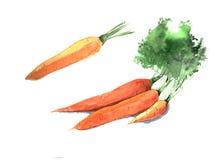 Metta delle carote dell'acquerello Illustrazione disegnata a mano isolata su fondo bianco illustrazione vettoriale