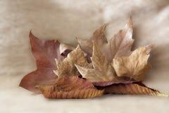 Metta delle foglie di autunno di varie dimensioni su fondo di colore chiaro immagini stock libere da diritti