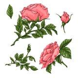 Metta delle rose di corallo Illustrazione della mano illustrazione vettoriale