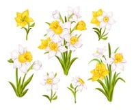 Metta di bei fiori del narciso per le carte, i manifesti, il tessuto ecc Illustrazione di vettore del narciso del fumetto royalty illustrazione gratis