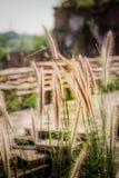 Metta a fuoco il punto la bellezza dell'erba di fioritura Fotografia Stock