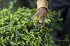 Metta a fuoco l'immagine della mano del ` s della mietitrice, selezionante le foglie di tè verdi Immagini Stock